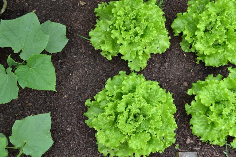 Zelený šalát a listy uhorky v zemi.jpg